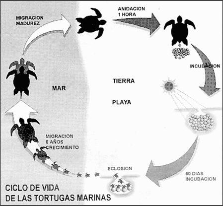 ¡Derechos Animales ya Ciclo de vida de las torturgas marinas