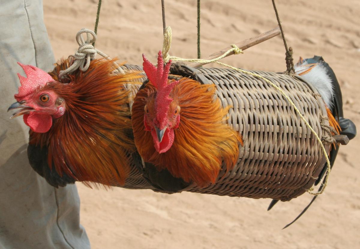 ¡Derechos Animales ya! - Gallinas atrapadas