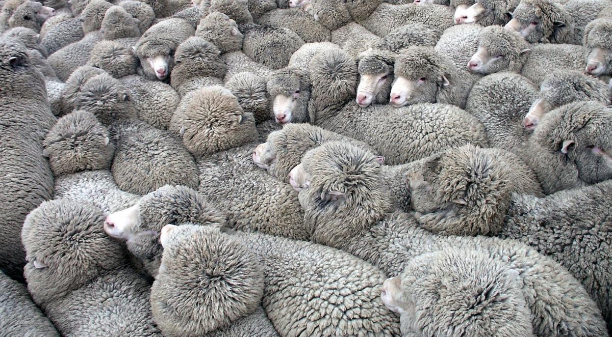 ¡Derechos Animales ya! - Rebaño de ovejas