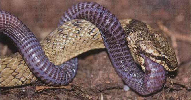 Blanus cinereus se enrosca alrededor de Macroprotodon brevis para defenderse - Defensa ante serpientes venenosas