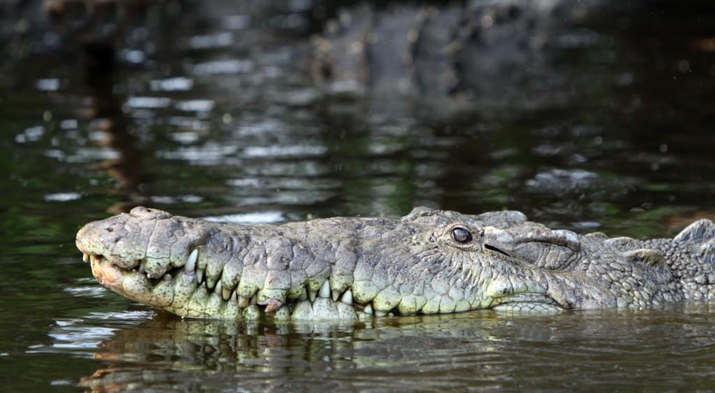 Crocodylus acutus nadando en La Manzanilla
