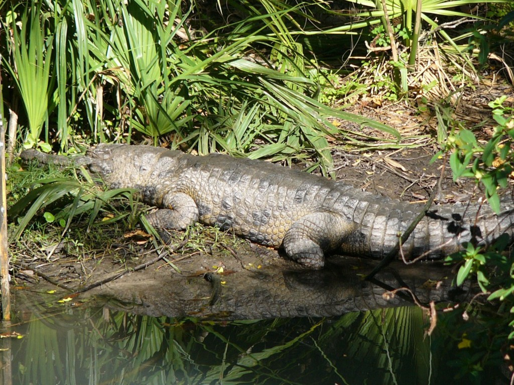 Crocodylus cataphractus en el Zoo Central de Florida