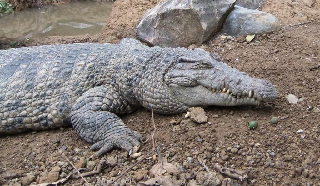 Cocodrilo de Nueva Guinea (Crocodylus novaeguineae)