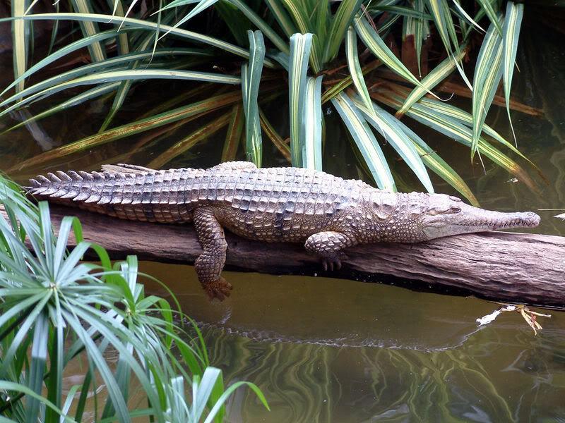 Cocodrilo de agua dulce australiano (Crocodylus johnstoni)