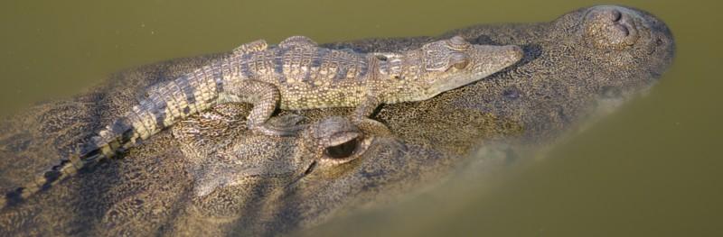 Hembra de cocodrilo mexicano (Crocodylus moreletti) lleva una cría sobre el hocico