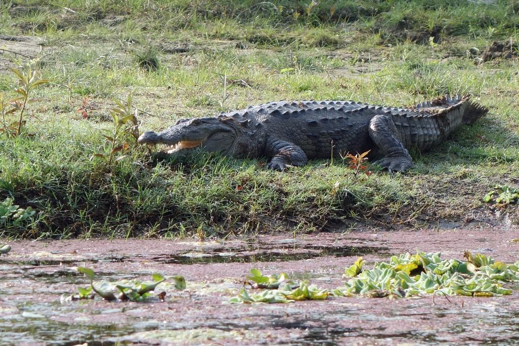 Cocodrilo hindú o cocodrilo de las marismas (Crocodylus palustris) echado junto a la orilla de un lago