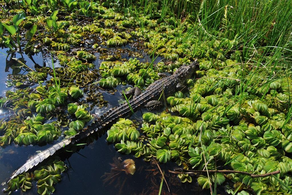 Cocodrilo siamés - Cocodrilo de Siam - Crocodylus siamensis
