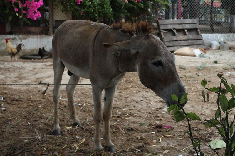 Burra atada en una finca - Explotación animal vinculada a la pobreza