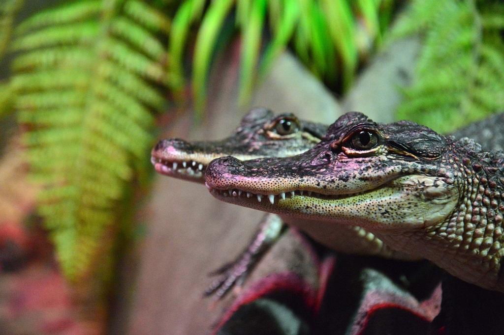 Juveniles de cocodrilo vistos de perfil