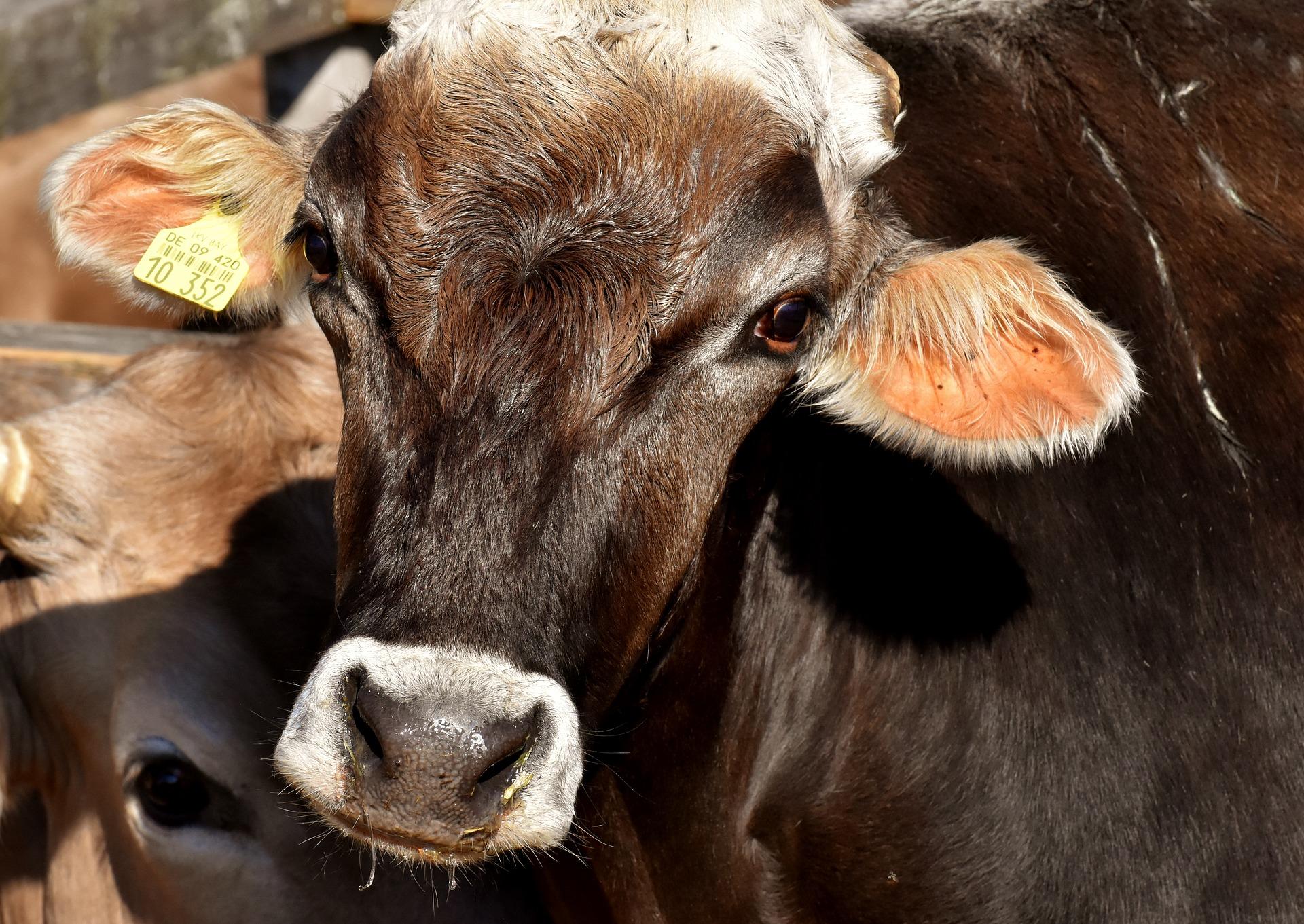 Vaca y carnismo